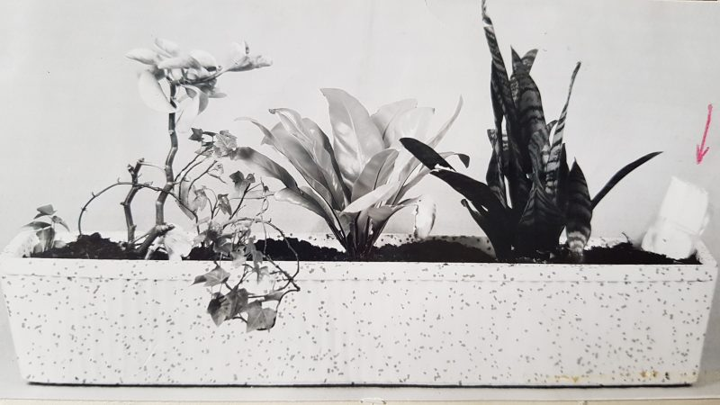 Een zwart wit foto uit 1965 met een langwerpige witte plantenbak met 5 planten en een wit pakje met daarboven een rood pijltje dat aangeeft dat in dat pakje de valse goudstempels zaten.